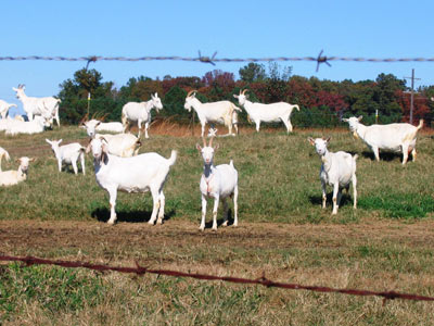 www.goatdairyessay.com - Win The Humble Heart Goat Dairy & Creamery Essay Contest